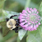 Common Eastern Bumble Bee