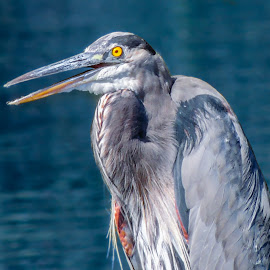 Crazy Heron by Penny McWhirt - Animals Birds ( old hickory lake, animals, blue heron, tennessee, birds )