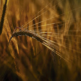 golden Ear by Katka Kozáková - Nature Up Close Other plants ( wheat, end of summer, cob, evening, sun )