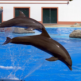 Dolphins by João Ascenso - Animals Sea Creatures ( dolphin )