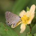 Disjunct Scrub-Hairstreak
