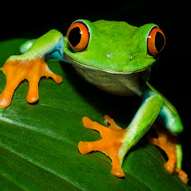 Red eye tree frog by Lisa Coletto - Animals Amphibians ( frog, tree frog, amphibian )