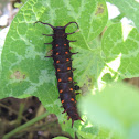 Pipevine caterpillar