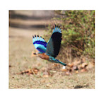 Indian Roller/ Blue Jay