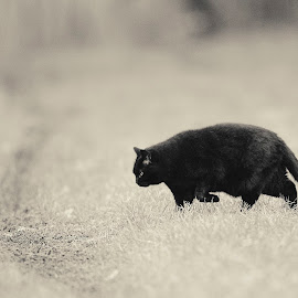 The dark hunter by Annette Flottwell - Black & White Animals ( tomcat, matou, fafnir, black )