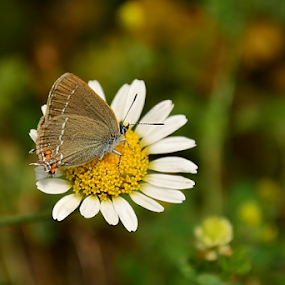 by Selçuk Özkan - Animals Other ( butterfly, nature, natur, daisy, flower, animal )