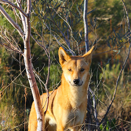 Dingo  by Rachael Hunker - Animals Other Mammals ( wild animal, nt, rainbow valley, australia, australian animal, australian dingo, dingo, outback, northern territory )