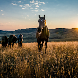 Breakfast Harem by Richard Horst - Animals Horses ( pasture, grazing, horses, breakfast, montana )