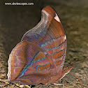 Stinky Leafwing
