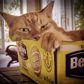 Cat by Joseph Vittek - Animals - Cats Portraits ( cat, green eyes, box, yellow, tan )