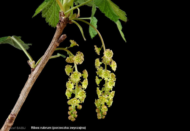 Ribes rubrum inflorescence - Porzeczka zwyczajna kwiatostan