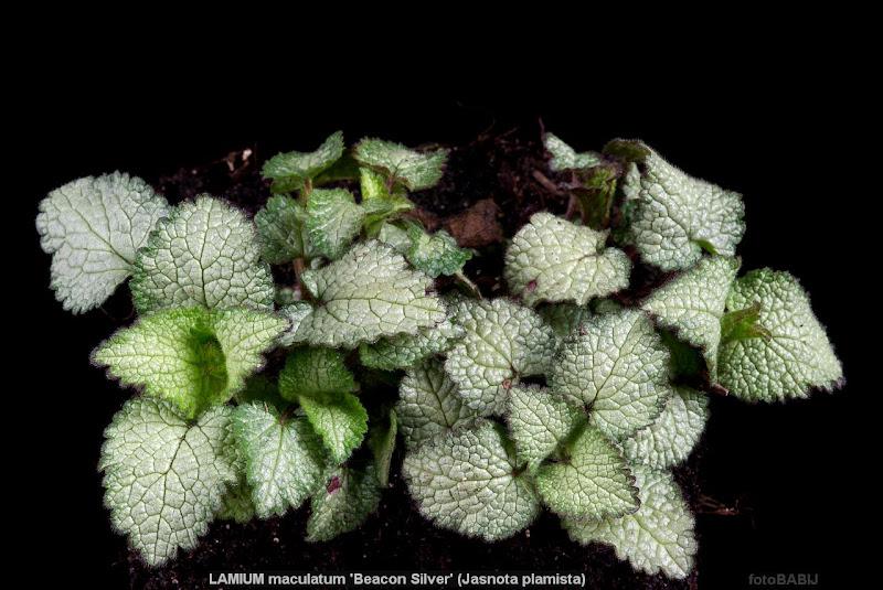 Lamium maculatum 'Beacon Silver' habit - Jasnota plamista 'Beacon Silver'pokrój