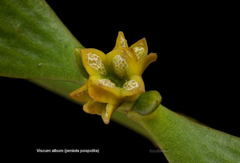 Viscum album leafs flowers - Jemioła pospolita kwiaty