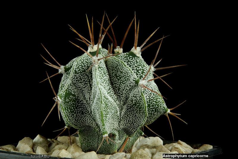 Astrophytum capricorne habit - Kaktus pokrój