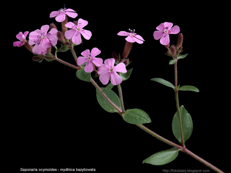 Saponaria ocymoides inflorescence - Mydlnica bazyliowata kwiatostan