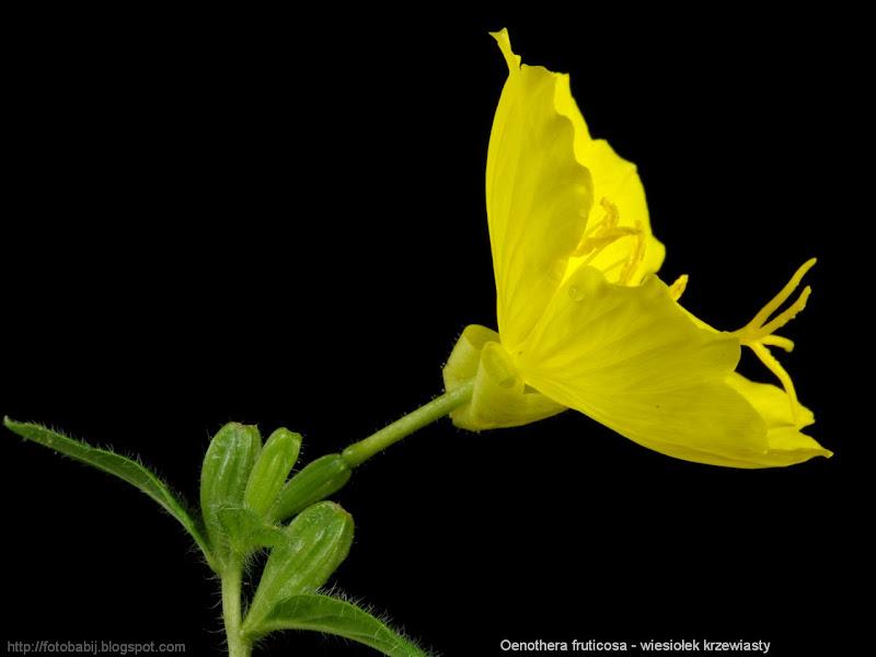 Oenothera fruticosa flower - Wiesiołek krzewiasty kwiat