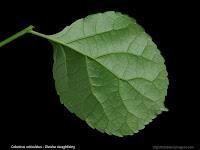 Celastrus orbiculatus leaf - Dławisz okrągłolistny liść od spodu