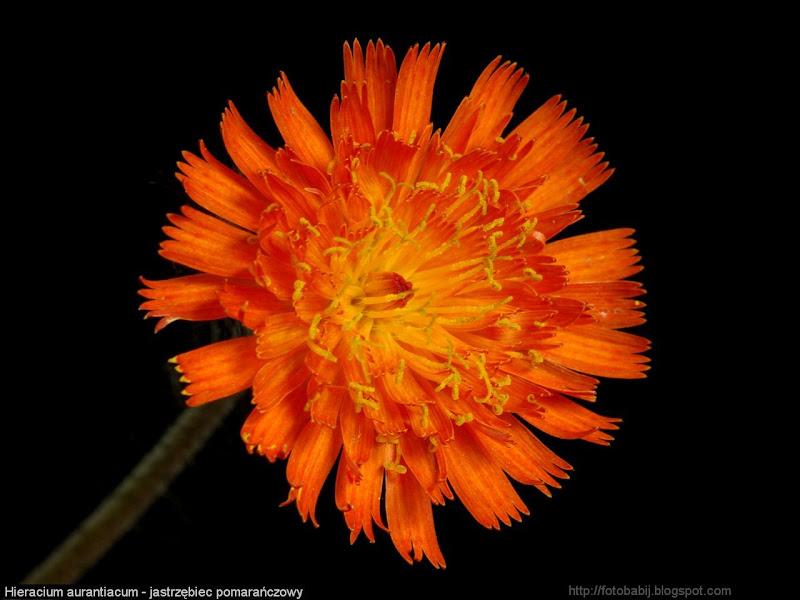 Hieracium aurantiacum flower - Jastrzębiec pomarańczowy kwiat