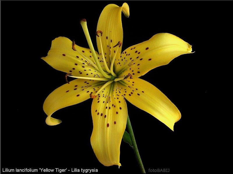 Lilium lancifolium 'Yellow Tiger' - Lilia tygrysia 'Yellow Tiger'