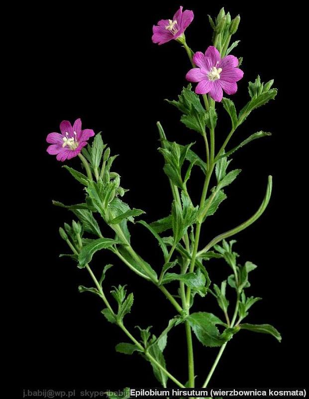 Epilobium hirsutum babit - Wierzbownica kosmata pokrój