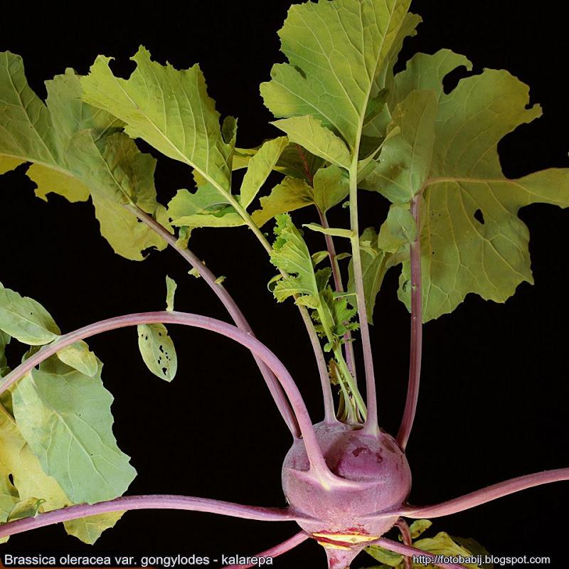 Brassica oleracea var. gongylodes Growth Habit   - Kalarepa pokrój