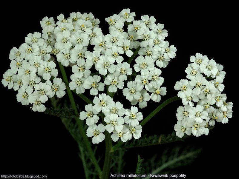 Achillea millefolium inflorescence - Krwawnik pospolity kwiatostan