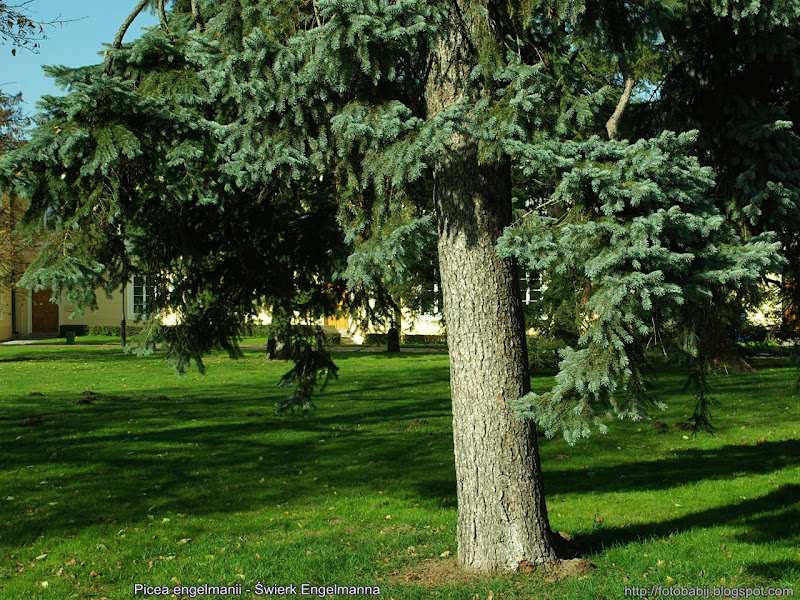 Picea engelmannii - Świerk Engelmanna pokrój