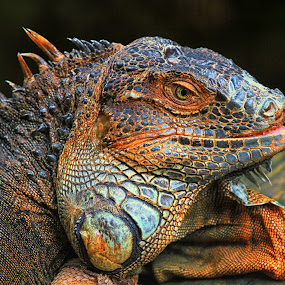 Smiling! by Itamar Campos - Animals Reptiles ( iguana, reptile )