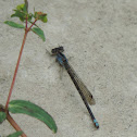 Familiar Bluet Damselfly