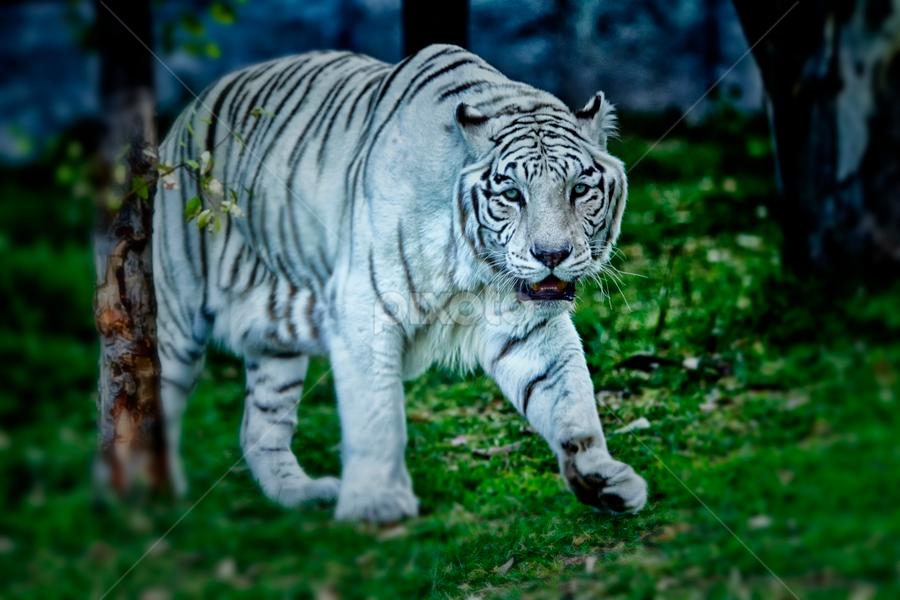 White Tiger walking by Cristobal Garciaferro Rubio - Animals Lions, Tigers & Big Cats ( walking, tiger, night shot, white tige )