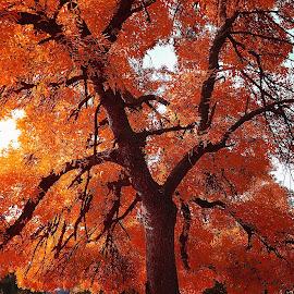 Leaves by Meglena Georgieva - Nature Up Close Trees & Bushes ( walking, red, park, nature, autumn, colors, sun )