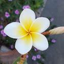 White frangipani (Πλουμέρια)