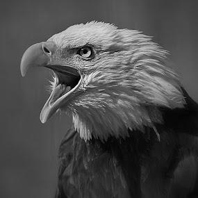 Eagle by Gary Enloe - Black & White Animals