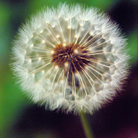 Just Dandy by Don Bruechert - Nature Up Close Other plants ( dandelion, macro photography, plants, seeds, weeds, flowers )
