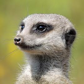 Meerkat by Kathryn Willett - Animals Other ( zoo, captive, meerkat, photography, portrait )