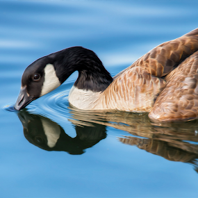 Blue Goose Reflecting by Bill Tiepelman - Animals Birds ( bird, wild goose, reflection, nature, curved neck, geese, goose )