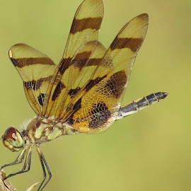 Dainty Dragonfly by Cindy Cooper Houser - Animals Insects & Spiders ( bugs, fly, bug, dainty, insects, insect, dragonfly, small )