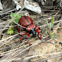 Obese Lily Weevil