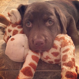 Sadie by Nicole Mize - Animals - Dogs Puppies ( suchacutie, those eyes, chocolatelab, lab so fine, chocolate lab )
