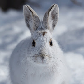 Bunny by Christine Chambers - Animals Other ( winter, bunny, nature, portrait, snowshoe rabbit )