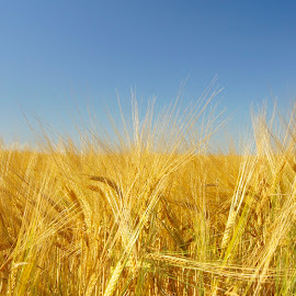 Cornfield by Trond Strand - Nature Up Close Gardens & Produce ( field, blue sky, seed, food, corn, growth,  )