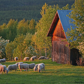 Skattungbyn by Claes Wåhlin - Landscapes Prairies, Meadows & Fields ( sweden, skattungbyn, barn, sheep, view,  )