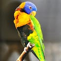 Parrots Live Wallpaper icon