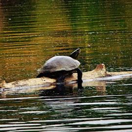 Mr. Turtle by Jessica Agner - Animals Amphibians ( animals, nature, amphibian, turtle, river,  )
