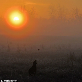 Early Morning with Liberty by Silvia Washington - Animals - Dogs Playing (  )