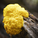 Scrambled Egg Slime Mold