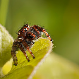 Spidey by D'mUroz Irawan - Animals Insects & Spiders ( spider,  )