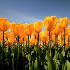 Tulips by Rajeev Krishnan - Flowers Flower Gardens ( spring colorful flowers, nature, outdoors, sun coming through wildflowers, yellow, tulips, flowers, springtime, garden, spring )