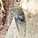 Cicada-- Annual?