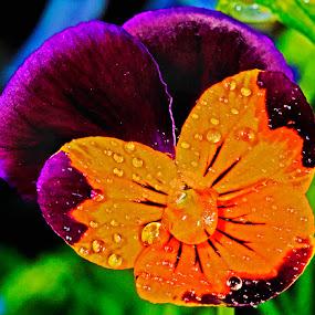 Viola by David Winchester - Flowers Single Flower